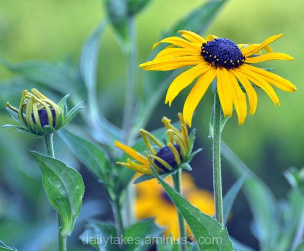 flowers black-eyed-susan