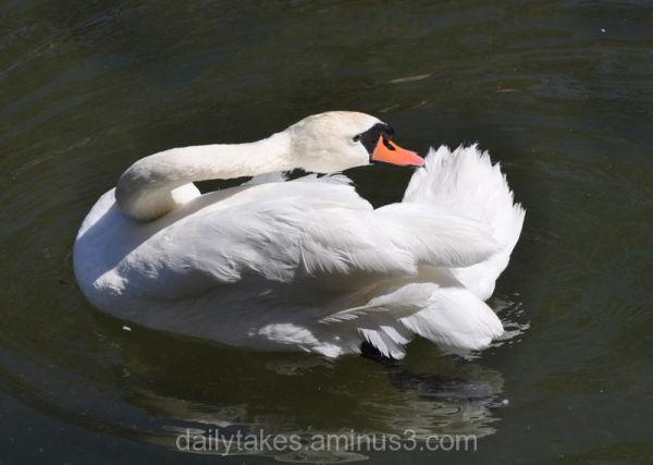 waterfowl swan