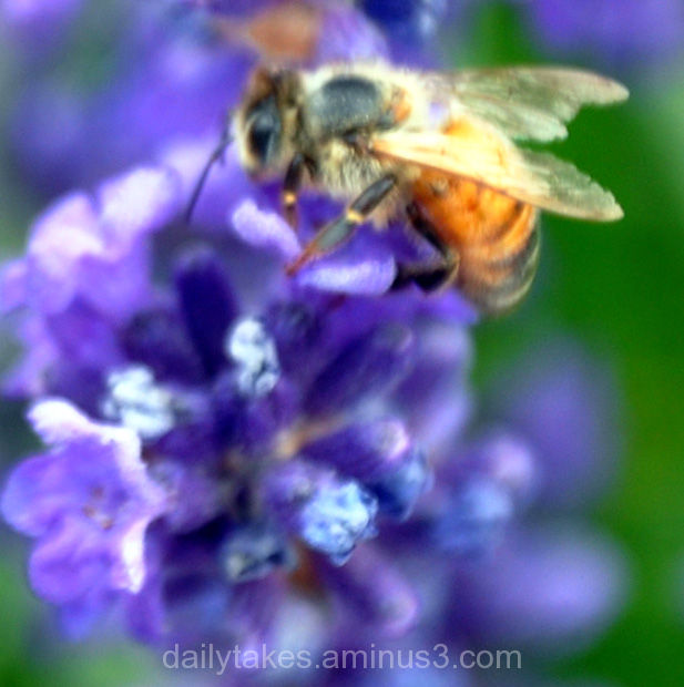 abstract flowers lavender bee
