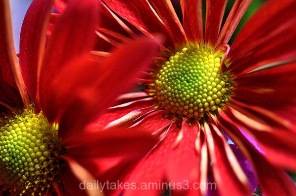 flowers daisy
