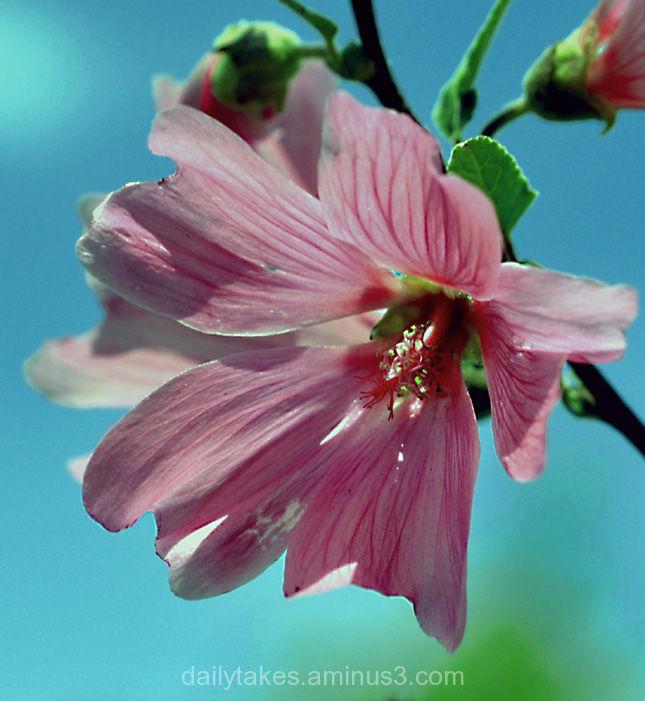 flowers roseofsharon