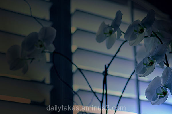 orchid in the window