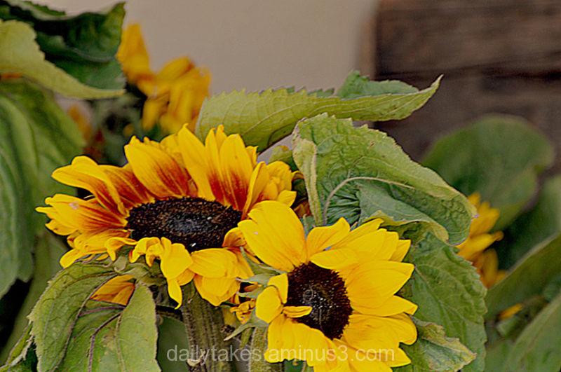 flowers sunflowers farmersmarket