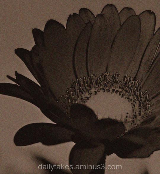 little brown daisy
