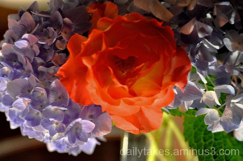 orange rose by lamp light