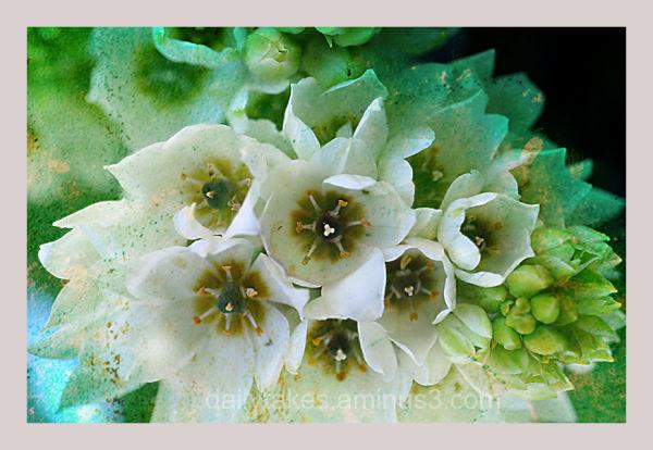 fleurs blanches ....
