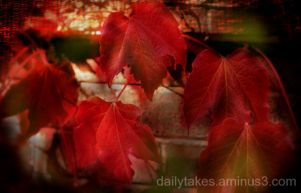 red autumn vines