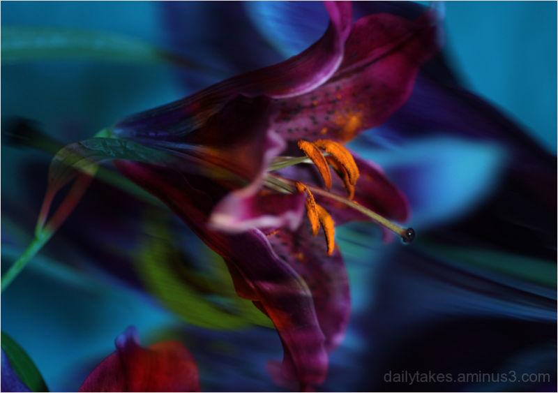 sumatra  lily ....