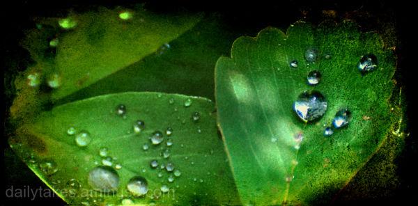 dew drops ....