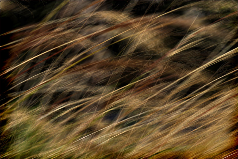 tapestry of winter grasses ....