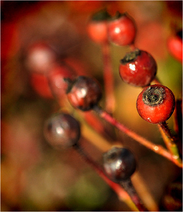 after the roses: rose hips