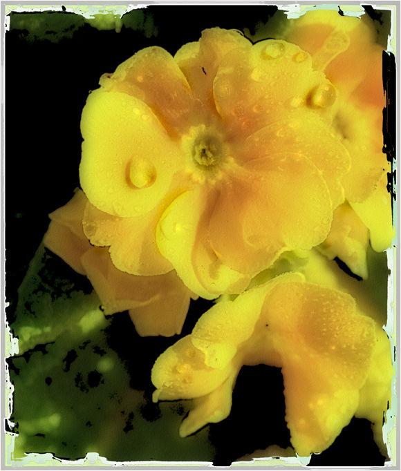 winter primrose