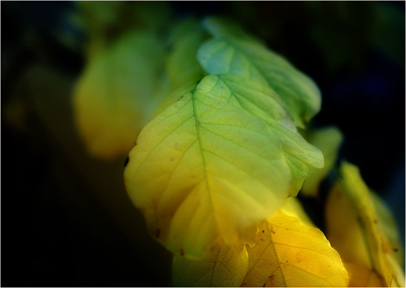 wisteria leaves