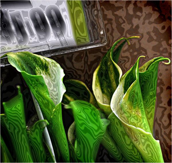 green callas for sale ....