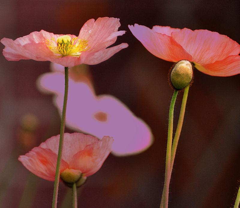 pink poppy field