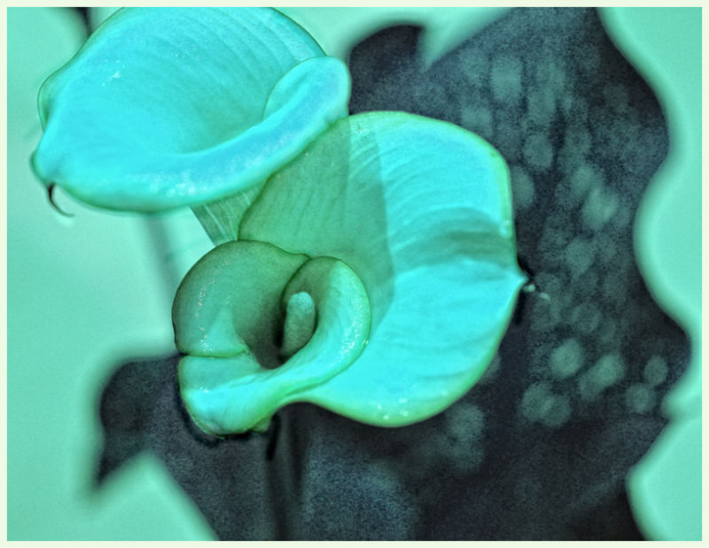 calla lilies and spotted leaf ....