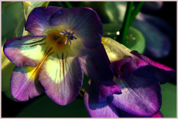 impressions of freesias : purple ....