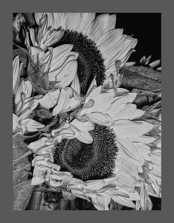 black and white sketch: sunflowers