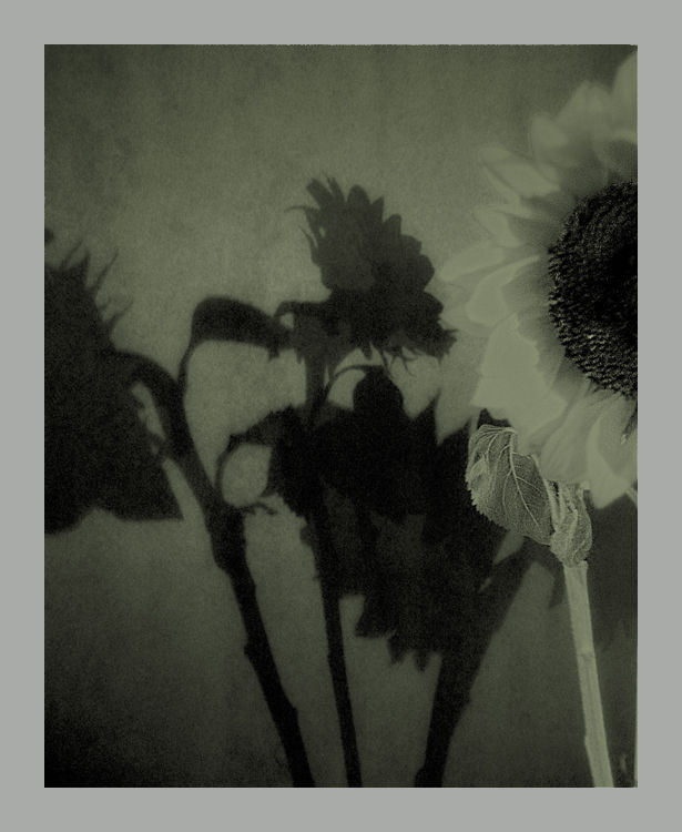 shadows on the wall :  sunflowers