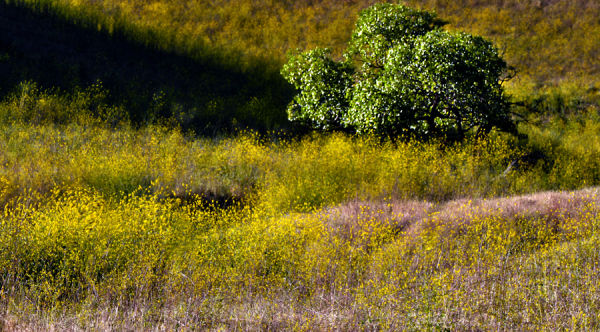 impression of foothills with mustard plant ....