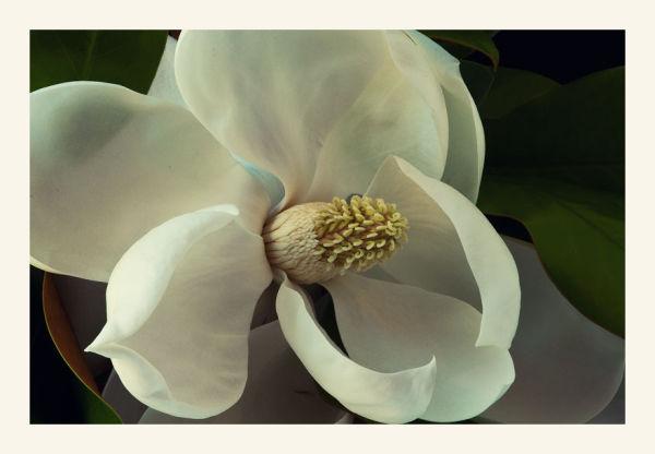magnolia blossom  1