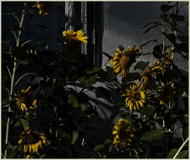 sunflowers against the window