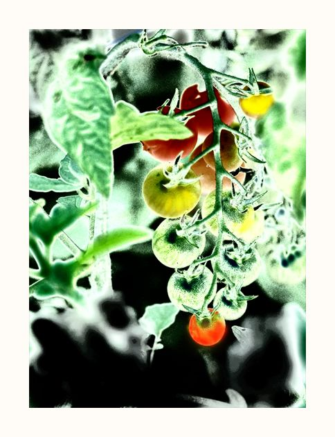 ripening under the sun . . .