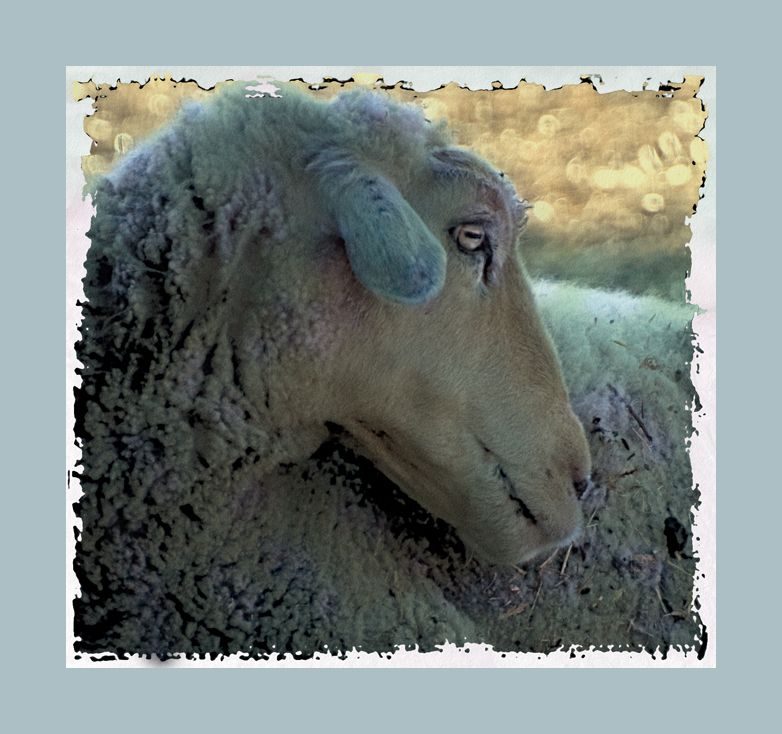 """sheepish shots :  """"You sure this is my best side?"""""""