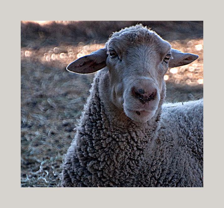 sheepish shots : head shot