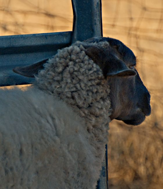"""sheepish shots : """"Not now, I'm not in the mood."""""""