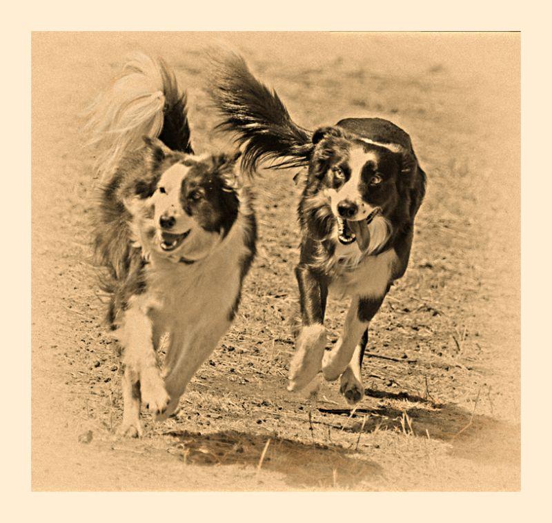 sheepish shots : sheep dogs
