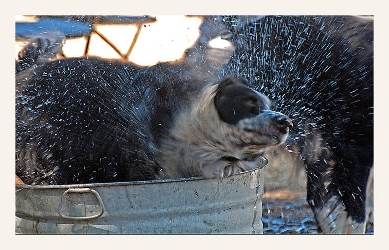 sheepish shots : sheep dog makes a splash