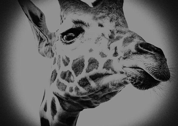weddiing guest: giraffe peering over the fence