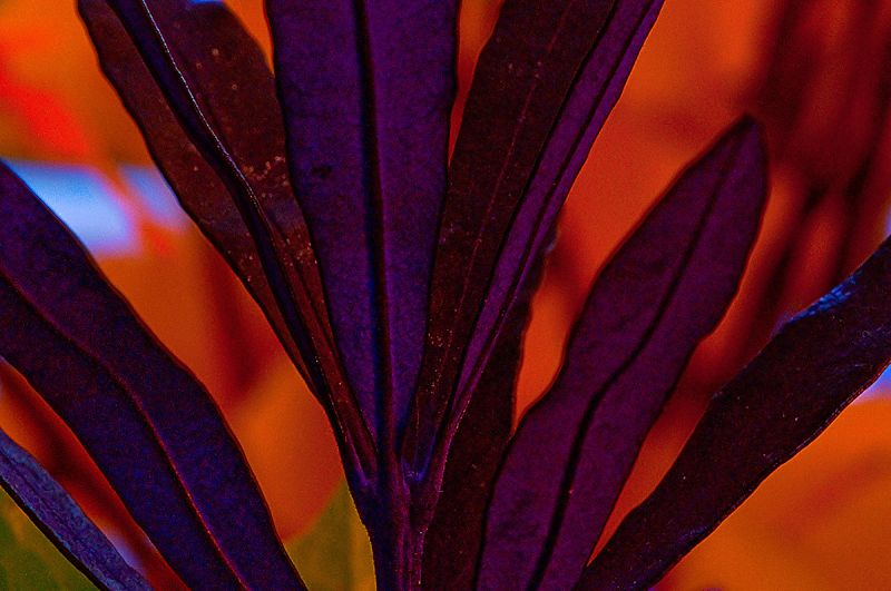 purple leaves  . . .