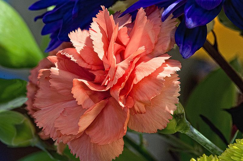 coral carnation  . . .