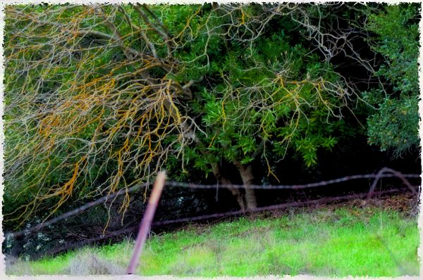 california winter : sprawling branches on hillside