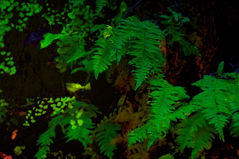 ferns in the woods  . . .