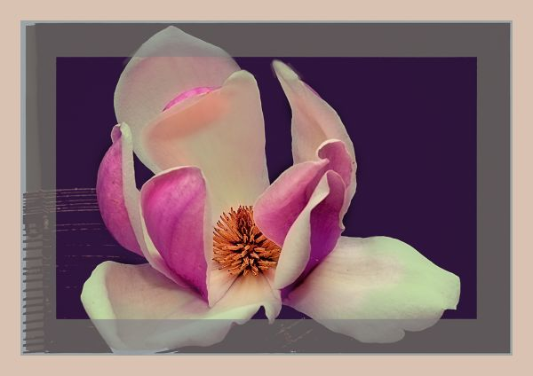 abstract flowers magnolia tulip tree blossoms