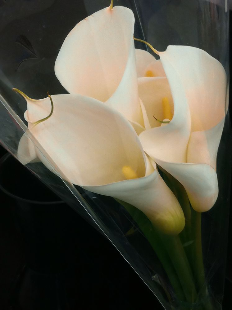 calla lilies in a cocoon  . . .