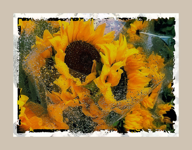 sunflower bouquets sprinkled with rain  . . .