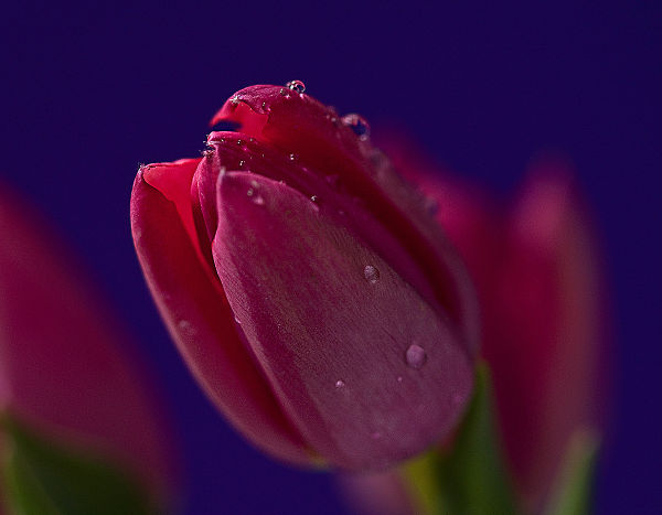 tulip bud  . . .