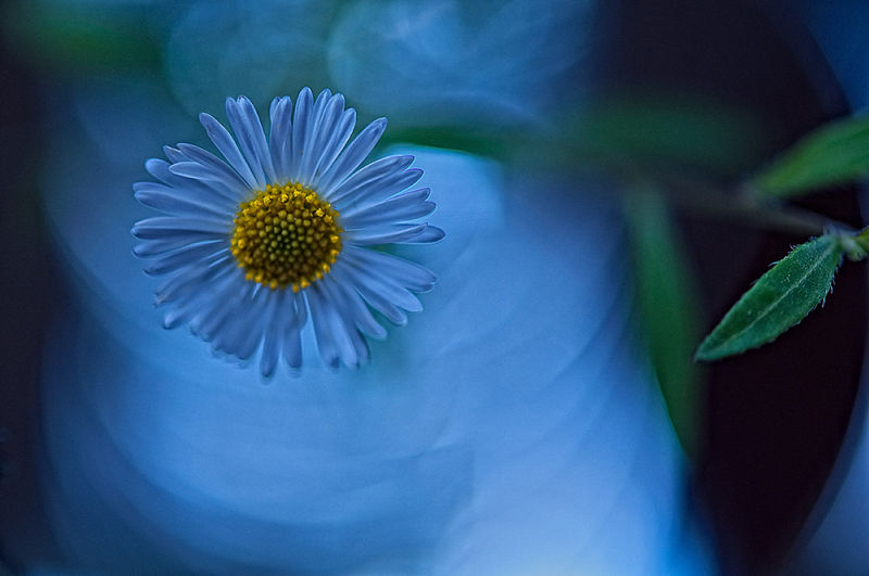 daisy in blue mood  . . .