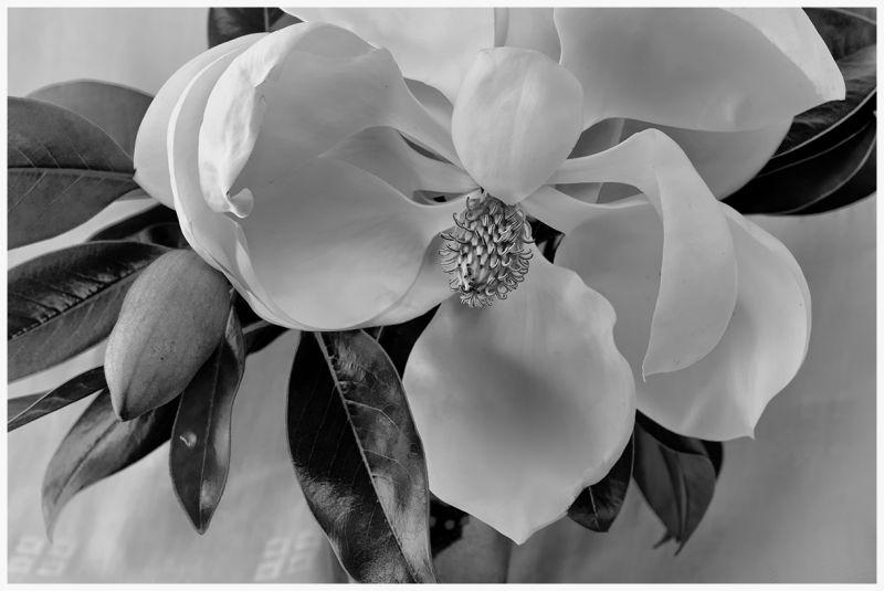 magnolia season  . . .