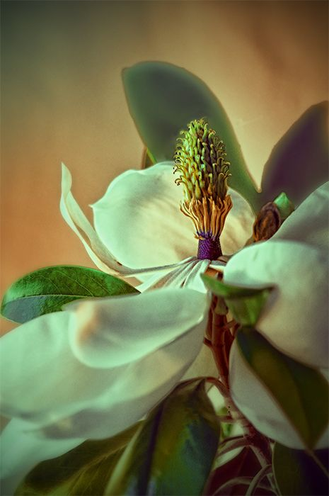 magnolia season : 3