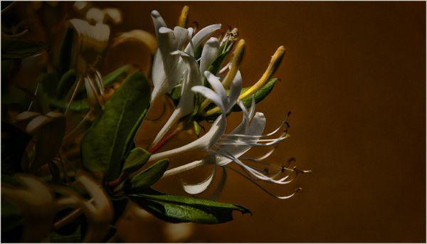 fleur blanches   . . .
