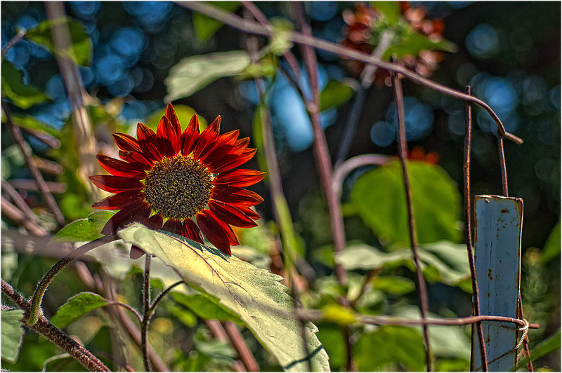 conversation with red sunflower   . . .