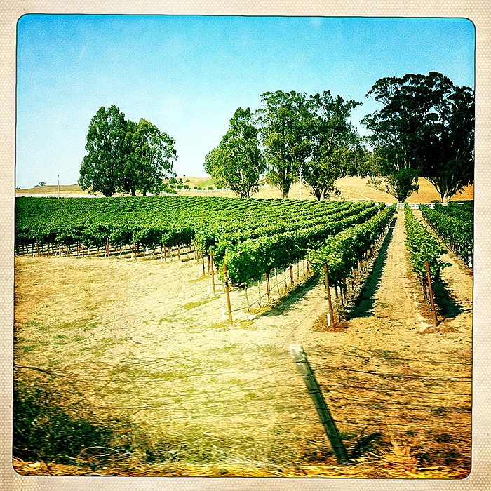 the road to petaluma : rows of vines