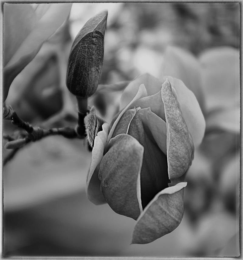 spring magnolia   . . .