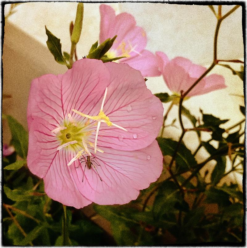 pink   . . .