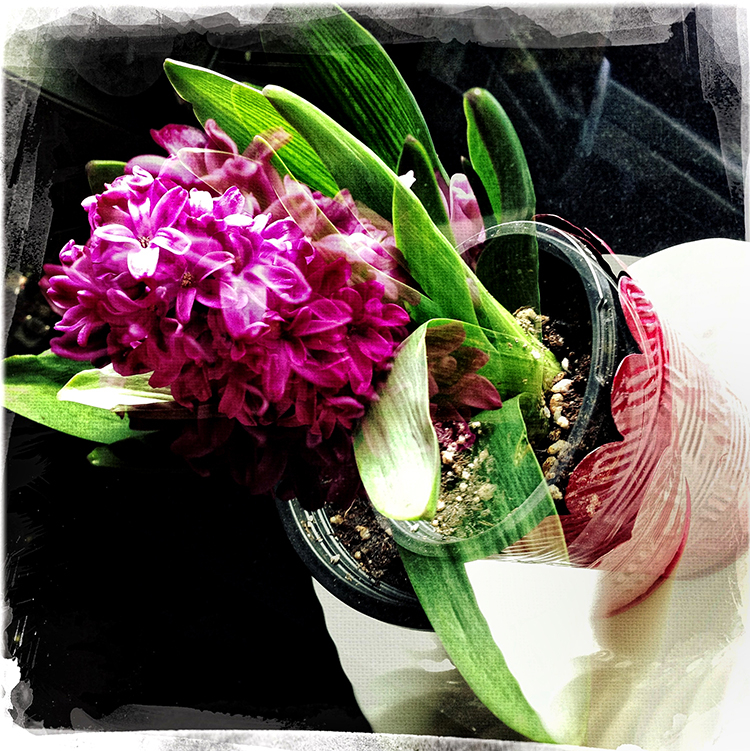 Hyacinth Happy